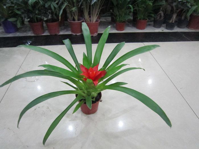 菠萝盆栽步骤图片